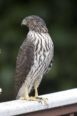 Photograph - Cooper's Hawk - Immature - 0024 by S and S Photo