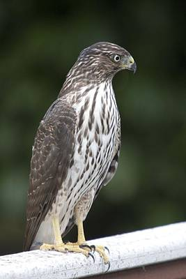 Photograph - Cooper's Hawk - Immature - 0025 by S and S Photo