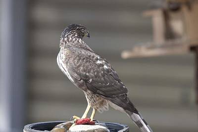 Photograph - Cooper's Hawk - Immature - 0026 by S and S Photo