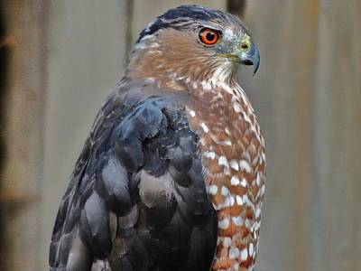 Photograph - Coopers Hawk 3 by Helen Carson
