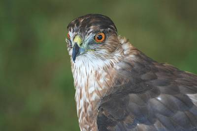 Photograph - Cooper's Hawk by Amy Porter