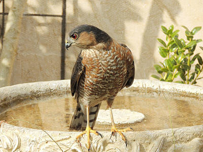 Birds Rights Managed Images - Coopers Hawk at the Bird Bath Royalty-Free Image by Jayne Wilson