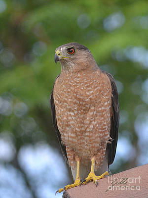 Photograph - Cooper's Hawk I by Suzette Kallen