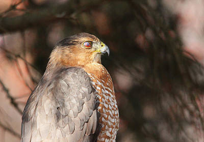 Photograph - Coopers Hawk In Profile by Debbie Oppermann