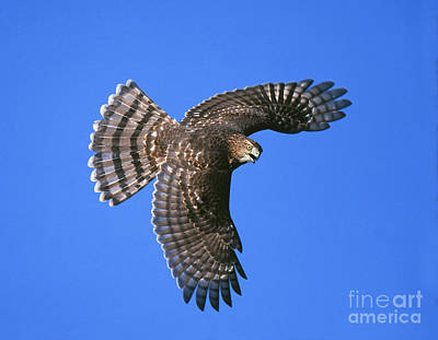 Coopers Hawk Art Print by Jim Zipp