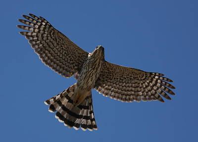 Photograph - Cooper's Hawk by Joe Sweeney