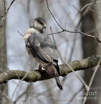 Photograph - Cooper's Hawk by Maureen Cavanaugh Berry