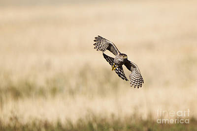 Flying Hawks Digital Art - Coopers Hawk On The Prowl by Susan Gary