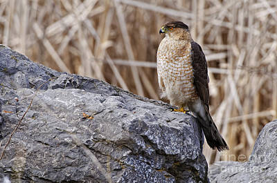 Modern Man Surf - Coopers Hawk Pictures 91 by World Wildlife Photography
