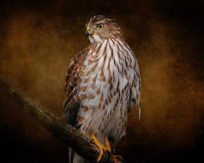 Coopers Hawk Portrait 1 Art Print by Jai Johnson