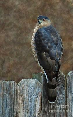 Coopers Hawk Portrait Art Print by Joy Bradley