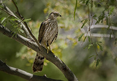 Photograph - Cooper's Hawk  by Saija  Lehtonen