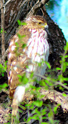 Photograph - Cooper's Hawk by Shannon Harrington
