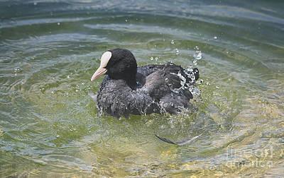 Photograph - Coot Bathing by Jutta Maria Pusl