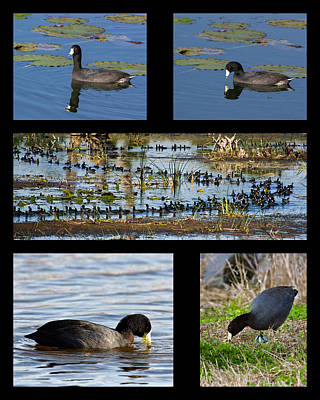 Photograph - Coot Collage by Dawn Currie
