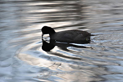 Photograph - Coot Painting by Teresa Blanton