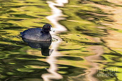 Photograph - Coot Reflected by Kate Brown