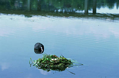Coot Wall Art - Photograph - Coot With Nest And Eggs by Leslie J Borg/science Photo Library