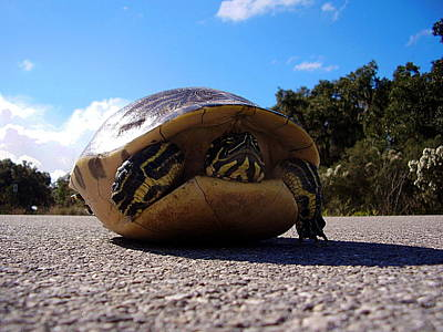 World War 2 Action Photography Royalty Free Images - Cooter Turtle Royalty-Free Image by Chris Mercer