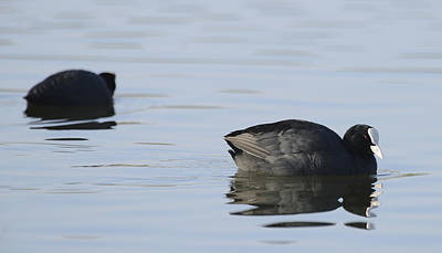 Blueish Photograph - Coots by Andy-Kim Moeller