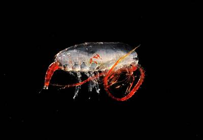 Copepod Crustacean Art Print by British Antarctic Survey/science Photo Library
