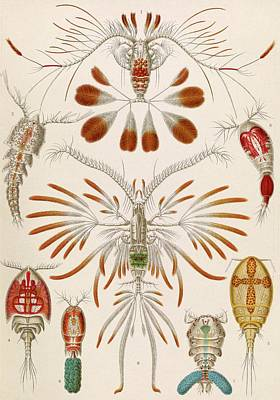 Copepod Crustaceans Art Print by Library Of Congress