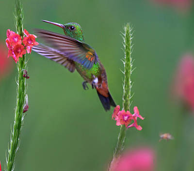 Trinidad And Tobago Wall Art - Photograph - Copper-rumped Hummingbird (amazilia by Tim Fitzharris