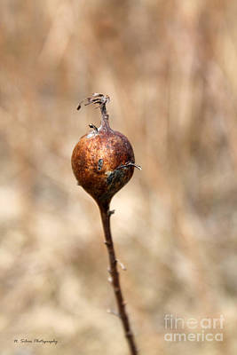 Photograph - Copper Wild Grass Pod by Nina Silver