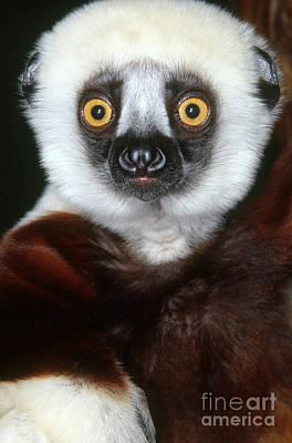 Photograph - Coquerels Sifaka by Art Wolfe