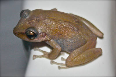 Coqui Photograph - Coqui Frog by Venetia Featherstone-Witty