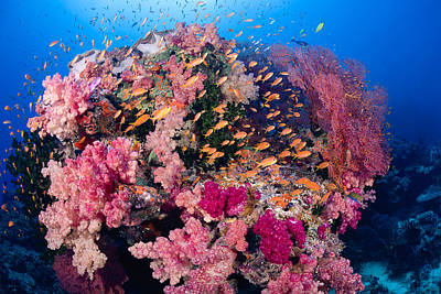 Photograph - Coral And Anthias IIi by Dave Fleetham