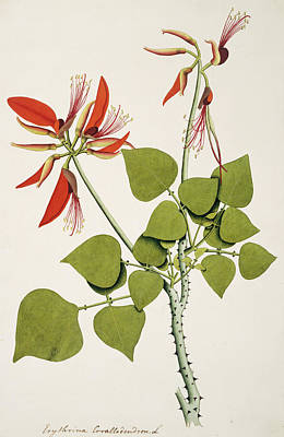 Coral Bean Tree Art Print by Natural History Museum, London/science Photo Library