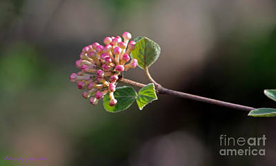 Photograph - Coral Bell Blossom by Gena Weiser