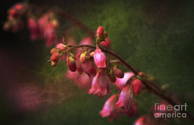 Photograph - Coral Bells by Lee Craig