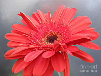 Coral Gerber Daisy Print by Addie Hocynec