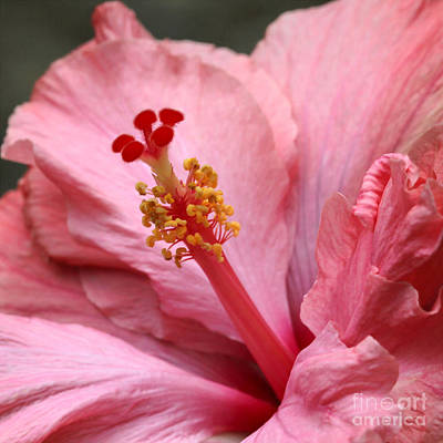 Florida Flowers Photograph - Coral Hibiscus by Sabrina L Ryan