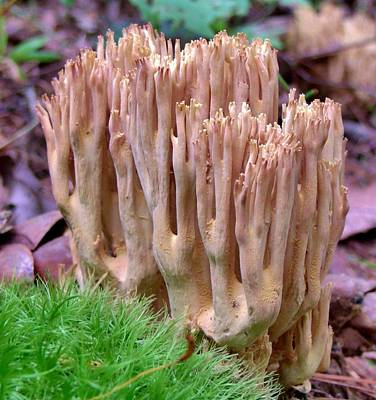 Coral Mushroom Art Print