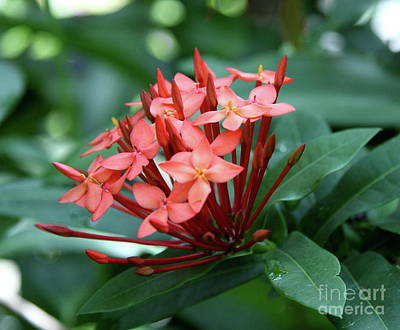 Fragipani Photograph - Coral Plumeria by Christiane Schulze Art And Photography