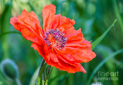 Nature Photograph - Coral Poppy by Cheryl Baxter