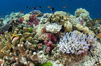 Photograph - Coral Reef Diversity Fiji by Pete Oxford