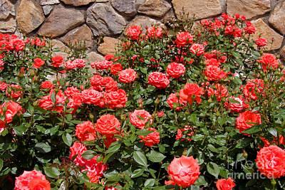 Water Droplets Sharon Johnstone - Coral Roses by Jill Lang