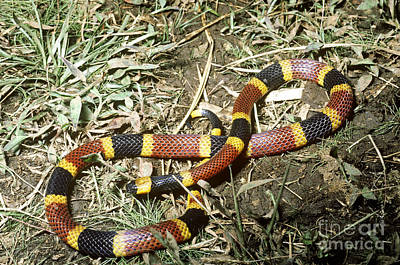 Coral Snake Art Print by Gregory G. Dimijian, M.D.