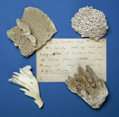Beagle Wall Art - Photograph - Coral Specimens by Natural History Museum, London/science Photo Library