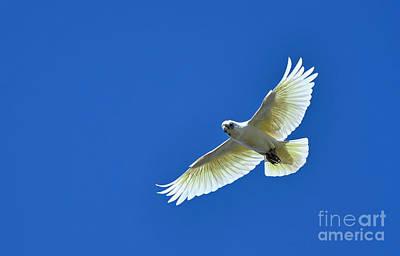 Cockatoo Photograph - Corella In Flight by Kaye Menner