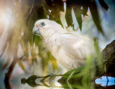 Photograph - Corella In Morning Light by Kym Clarke