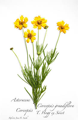 Photograph - Coreopsis 1 by Roberta Jean Smith