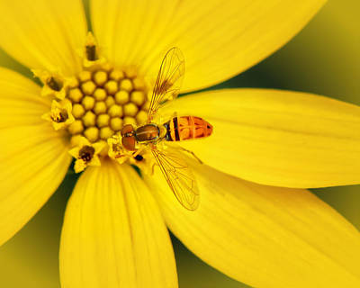 Photograph - Coreopsis And Hoverfly by Carolyn Derstine