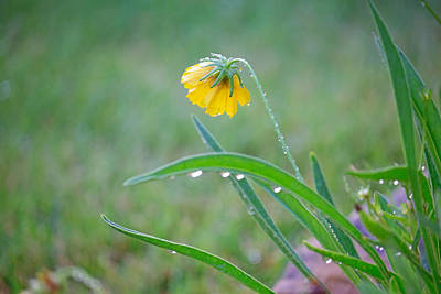 Photograph - Coreopsis Bent With Rain by Mary Lee Dereske
