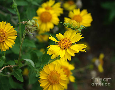 Photograph - Coreopsis Bloom by Peter Piatt