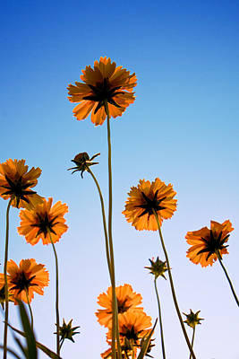 Photograph - Coreopsis In The Sky by Mary Lee Dereske